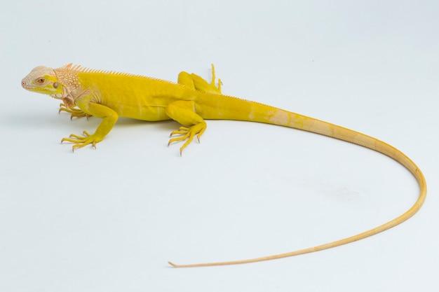 흰색 배경에 고립 된 노란색 흰둥이 이구아나