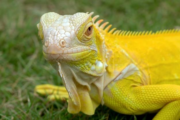 草の上の黄色いアルビノイグアナ