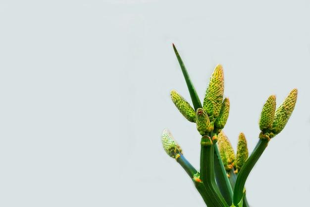 Желтый цветок алоэ и зеленая ветка на белом фоне