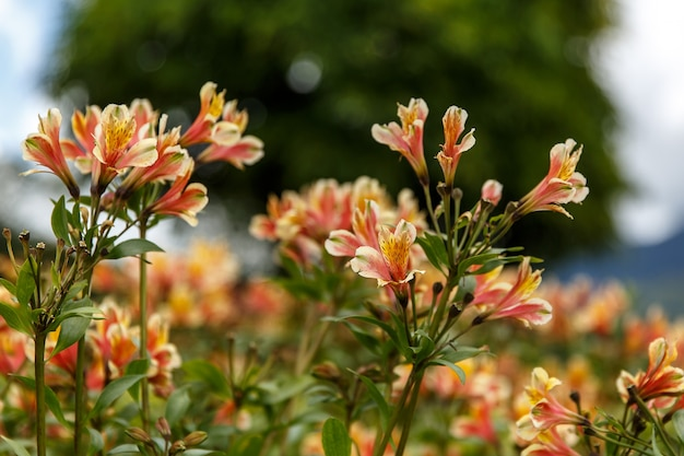 Yellow alstroemeria flower, peruvian lily or lily of the incas