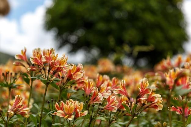 黄色のアルストロメリアの花、ペルーのユリまたはインカのユリ