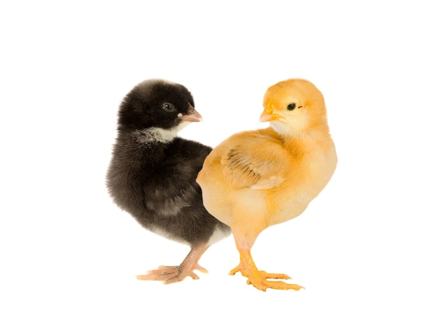 Желтый и черный цыпленок, изолированные на белом фоне