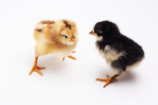 Желтый и черный цыпленок на белом