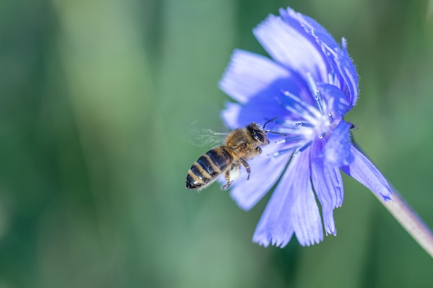 青い野生の花を受粉させる黄色と黒のミツバチ
