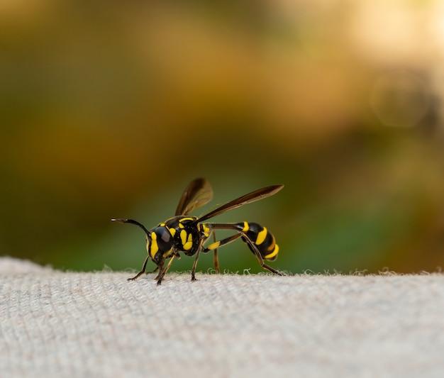 노란색과 검은색 말벌은 배경이 흐릿한 회색 천에 누워 있습니다.