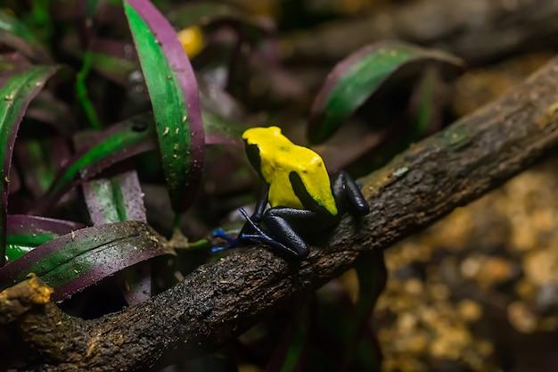 노란색과 검은 색 독 다트 개구리, dendrobates galactonotus