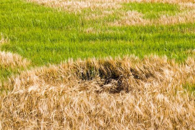 黄色と緑の大麦
