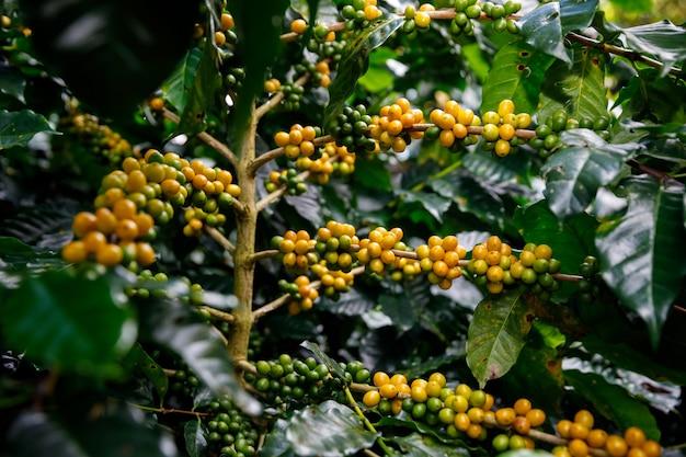 태국 치앙라이에서 수확하기 전에 노란색 및 녹색 커피 콩 유기농 100% 커피 식물