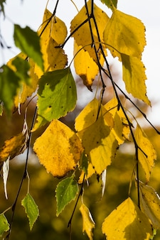 Желтые и зеленые листья березы в осенний сезон, детали ветвей деревьев заделывают, освещенные солнцем на закате.
