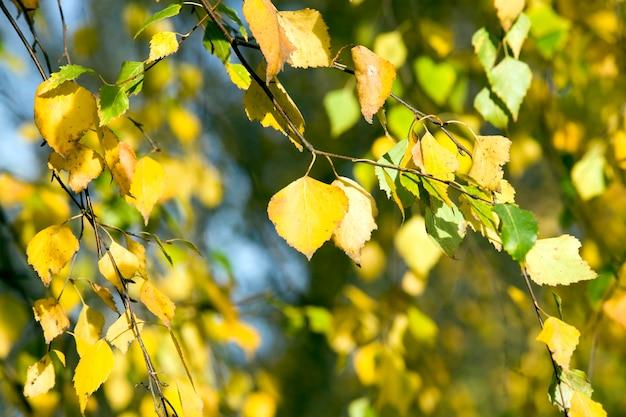 秋の黄色と緑の葉の白樺の木、木の枝の詳細がクローズアップ