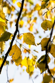 黄色と緑の葉の白樺の木