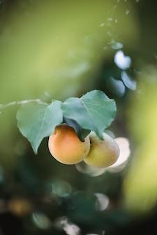 노란색과 녹색 둥근 과일