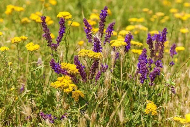 Желтые и сиреневые полевые цветы на лугу. полевые цветы.