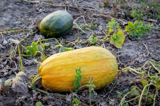 農場の畑にある黄色とオレンジ色のスカッシュ