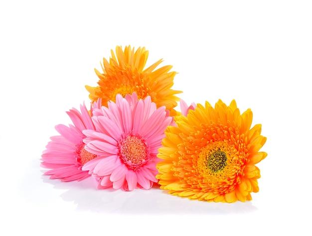 黄色とピンクのガーベラ、トランスバールデイジー、またはバーバートンデイジーの花
