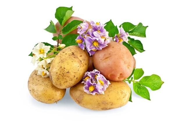 白と紫の花、白い背景で隔離の緑の葉を持つ黄色とピンクの塊茎