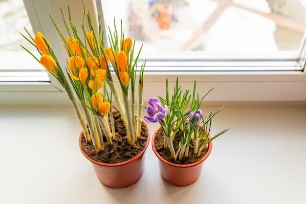 창틀에 플라스틱 냄비에 노란색과 보라색 크 로커 스. 봄의 꽃, 원예