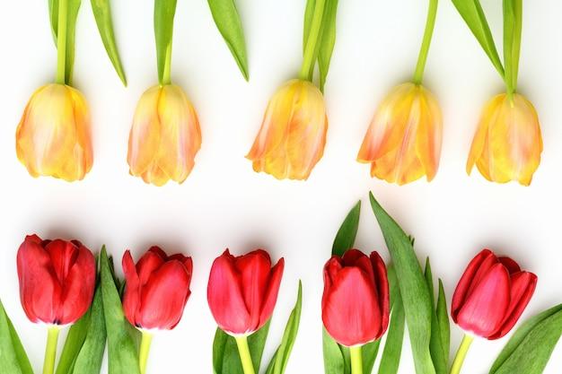 Желтые и красные тюльпаны на белом изолированном фоне. весной и летом фон. день матери, пасха и сезонный праздник