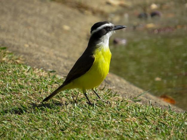 黄色と白の胸の鳥。