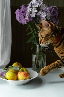 Yellow apples in plate on kitchen table, curious bengal cat stretching paw to play with them.