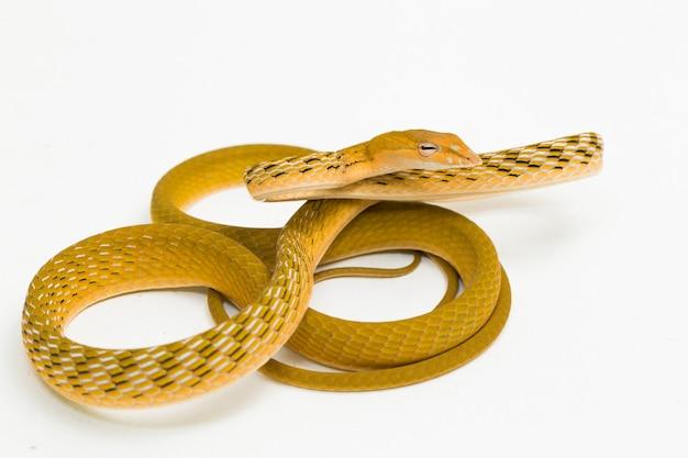 Желтая азиатская виноградная змея hypo ahaetulla prasina, изолированные на белом фоне