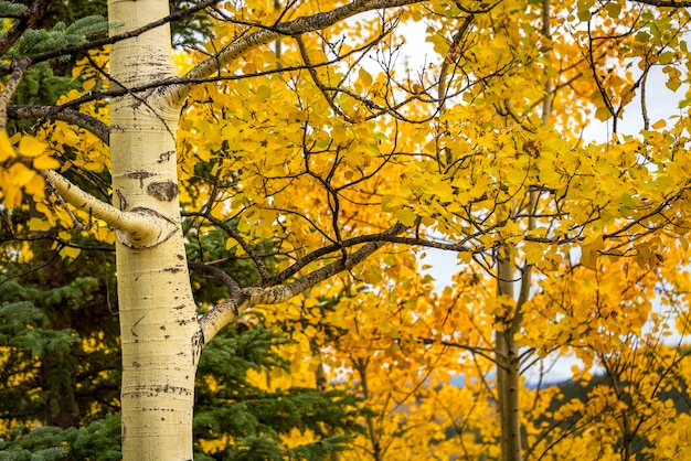 Yellow aspen trees with yellow leaves for fall season background