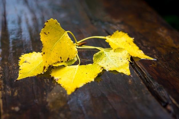 公園の湿った暗褐色のベンチに黄色い秋の白樺の葉。秋の雨