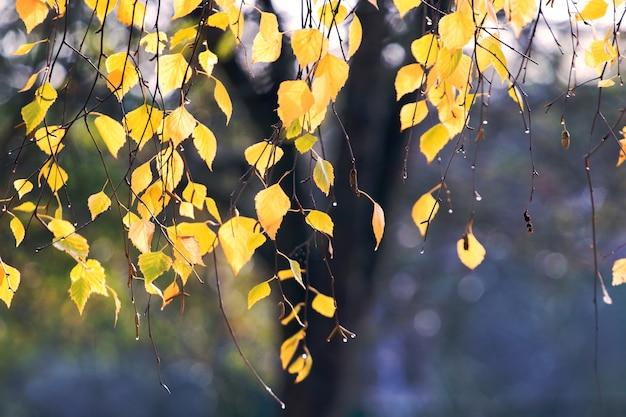 ぼやけた背景と森の中で露の滴と黄色の秋の白樺の葉