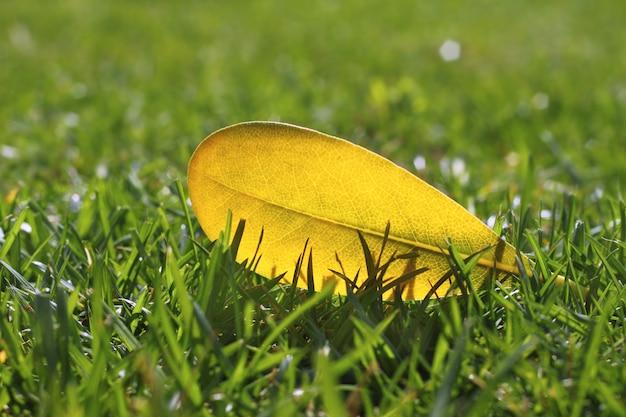 Yellow autumn fall leaf on garden green grass lawn