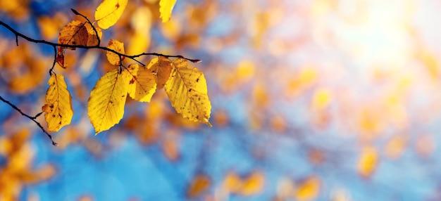 晴天、パノラマの青い空を背景に黄色い秋の森の葉