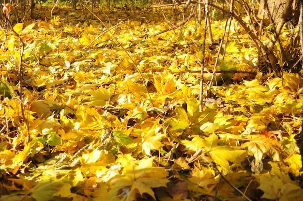 黄色の秋の森