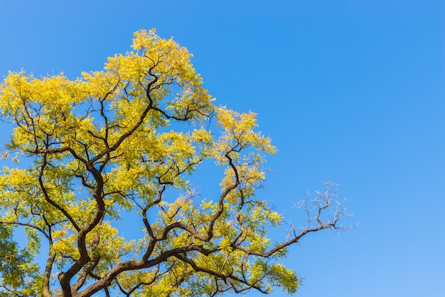 Yellow autumn leaves on blue sky background.