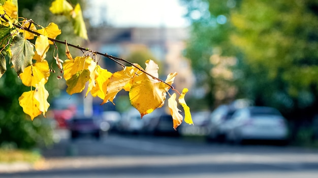 Yellow autumn leaves in the city on a blurred background