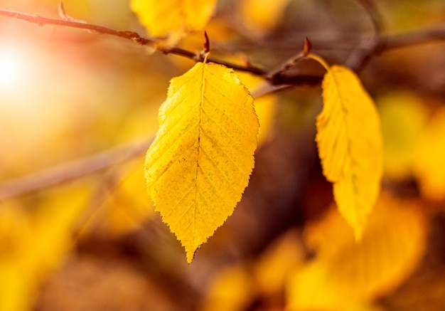 黄色い紅葉が暖かい秋の色で森にクローズアップ