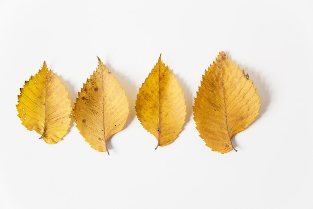 Yellow autumn leaves. flat lay. white background. minimalist style.