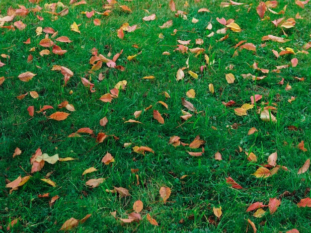 Yellow autumn leaves on green grass. nature background.