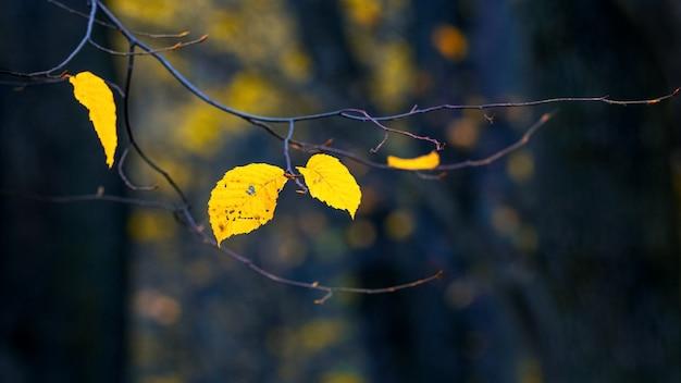 暗い背景、暗い秋の森の森の黄色い紅葉