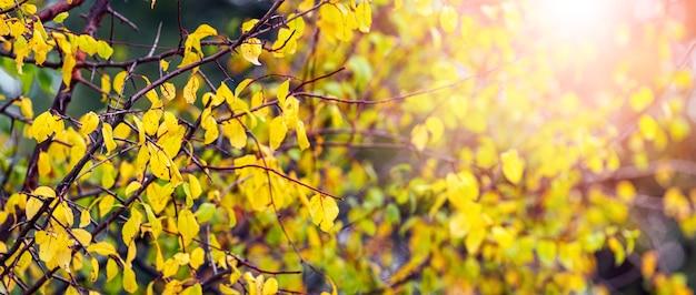 Желтые осенние листья в лесу на дереве на размытом фоне на солнце
