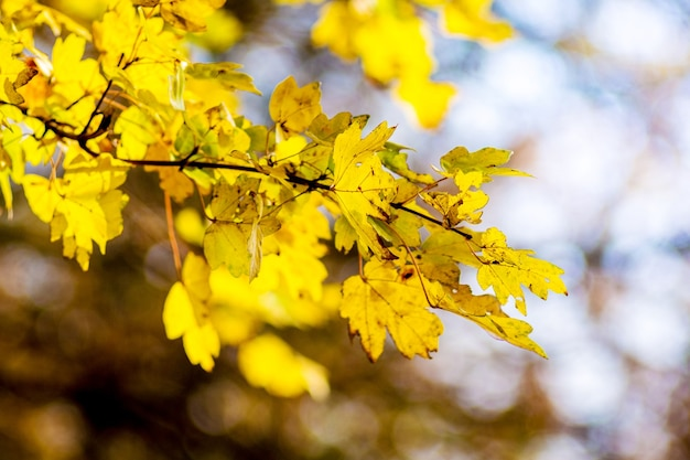 Yellow autumn leaves of maple on a tree in a forest in sunny weather