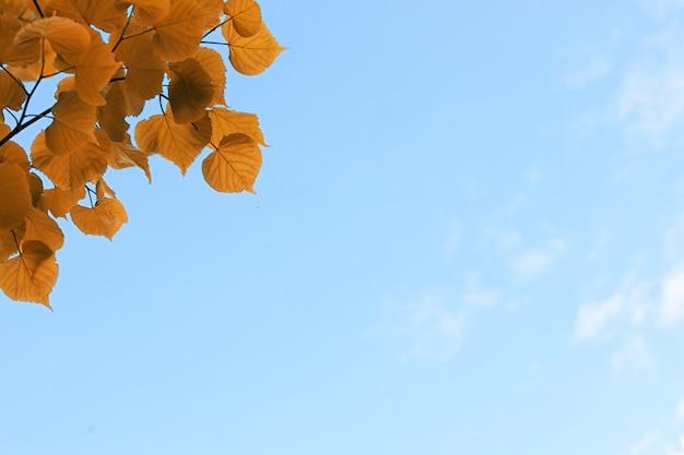 맑고 푸른 하늘에 나무의 노란 단풍
