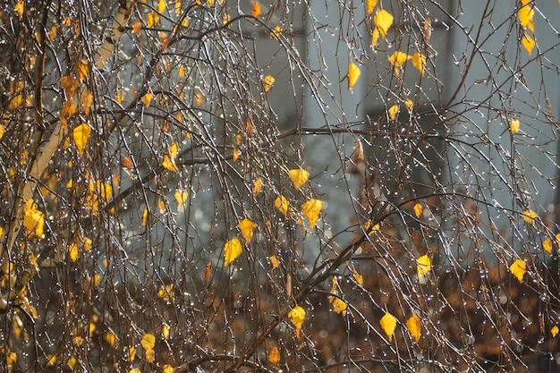 白樺の木に黄色い紅葉。晩秋、自然の背景、選択的な焦点。