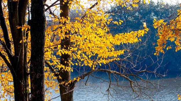 太陽の下で川の近くの木に黄色い紅葉。晴れた秋の日