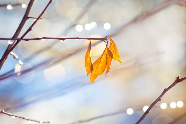 Yellow autumn leaves with dew drops on the branches in sunny weather