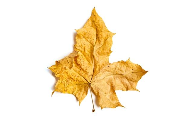 白い背景で隔離黄色の秋のカエデの葉。乾燥した紅葉