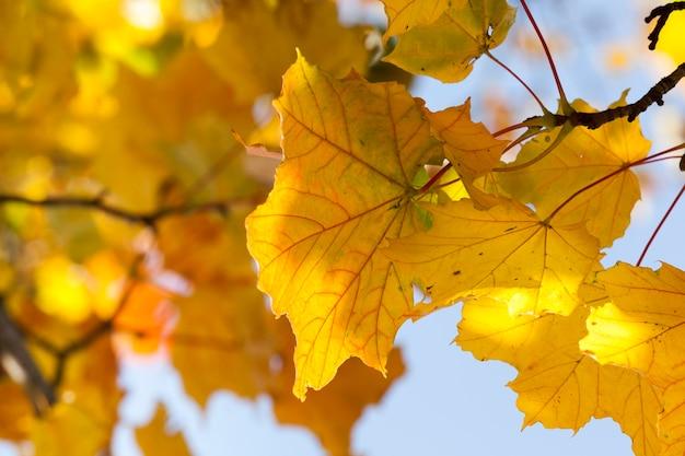Желтые осенние кленовые листья на фоне голубого неба и других листьев