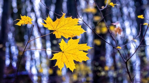 Желтые осенние кленовые листья в темном лесу