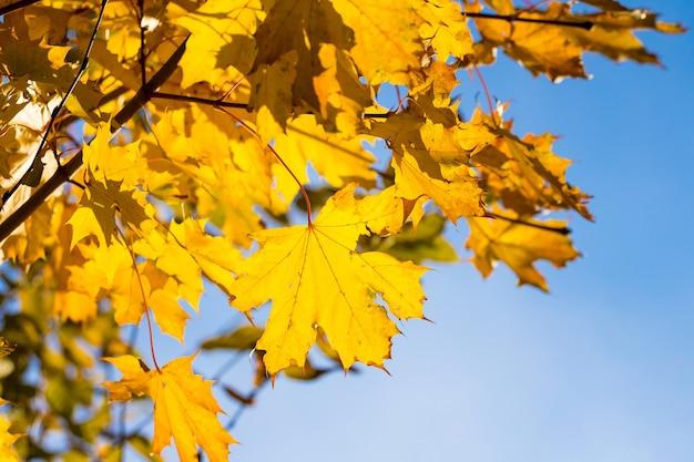 晴れた日の青空の黄色い紅葉