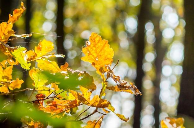 森の中の木の黄色い秋のカシの葉