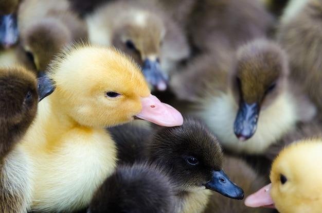 Группа желтых гусей и уток, милая домашняя птица, домашнее животное для сельского хозяйства и животноводства