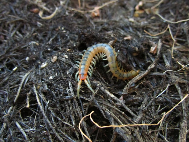Yellow banded centipede crawling on the ground